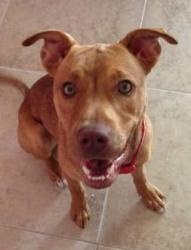 Hazel is an adoptable Pit Bull Terrier Dog in Bunnell, FL. � This beautiful girl is about 9 months old, vaccinated, heartworm negative, on preventative, spayed and microchipped. �She is good with dogs...