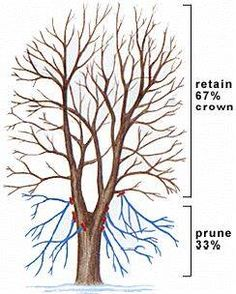 Important Tree Pruning Method #2 - Crown Raising