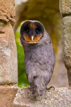 Black Barn Owls are rare but beautiful!  Typically, they are found in Europe.