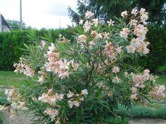 A három fő titok mellett egy meglepő tény is kiderül a leander magvetéséről. Flowers, Plants, Create, Shape, Flora, Plant, Royal Icing Flowers, Flower, Bloemen