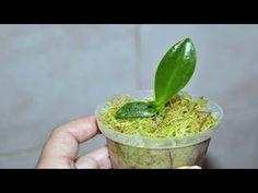 Netušili sme, že sa to dá aj takto. Pestovateľka ukázala unikátny spôsob, ako si rozmnožiť orchideu len pomocou stonky z odkvitnutej rastliny a plastovej fľaše. Bez bočných výhonkov (kejk) a akýchkoľvek špeciálnych prípravkov zo záhradkárstva.