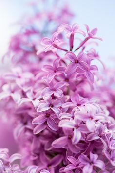 ~~Syringa (Lilac) by nemi1968~~