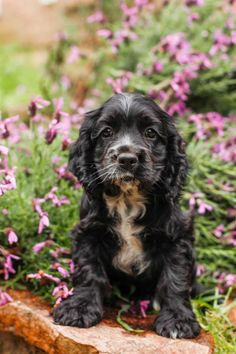 Meet Missy, an adoptable Cocker Spaniel Dog | Loomis, CA | Meet Missy. Rescued from Fresno, she's little cocker spaniel girl 9 weeks old. Too cute,...