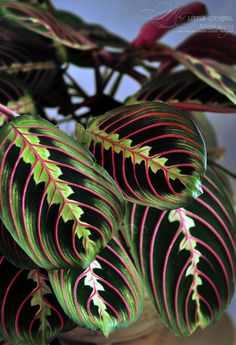 maranta|GASPS!!! Hold up----THIS..THIS IS THE MUST HAVE. I need this plant SO BAD