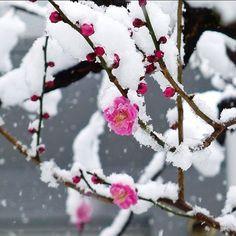 plum blossom snow