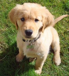 Are you a Golden Retriever Person?: Find out if the Golden Retriever breed is right for you. | Dog Fancy