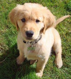 Anledningen till att jag valde att ha med den här bilden är att jag älskar hundar, framför allt rasen Golden Retriver. Jag har under hela mitt liv velat ha en Golden Retriver.