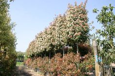 Photinia x fraseri 'Red Robin' - Trees & Shrubs A vigorous evergreen shrub from Asian and North America with dark glossy green leaves and brilliant red young growths. Red Robin Hedge, Red Robin Tree, Evergreen Shrubs, Trees And Shrubs, Photinia Red Robin, Garden Screening, Small Trees, Hedges, Green Leaves