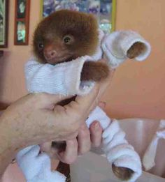 Baby sloth in protective PJs at the sloth sanctuary.Too cute for words !!