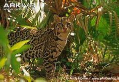 Pictures Where Ocelots Habitat Is - Bing Images
