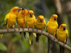 Sun Parakeet (Aratinga solstitialis) / Солнечная аратинга