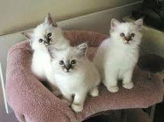 birman kittens - Google Search