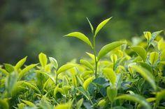 REMEDIOS NATURALES A LA CELULITIS Y MUCHO MAS: Beneficios del té verde para Quemar- grasas