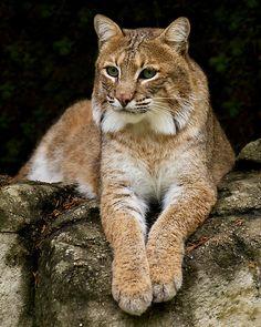 Bobcat (Lynx rufus) by Jeff Weymier