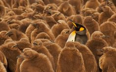 King Penguin and chicks.