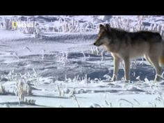 Documentary - Wolves of Yellowstone - National Geographic Documentary - YouTube