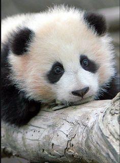 #Panda #Cub #Animals