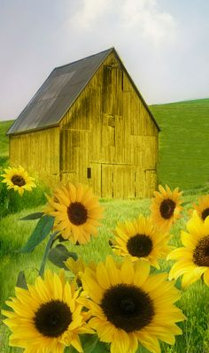 Meadow, Barn, and a Bunch of Yellow Sunflowers.