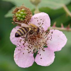 A honey bee pollinating blackberries