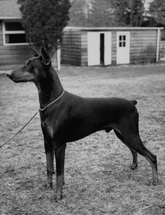 """Doberman pinscher, """"Rancho Dobe's Storm,"""" Greenwich, CT, 1953. Photo by Peter Stackpole for LIFE Magazine."""