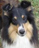 dog 4 a Sheltie