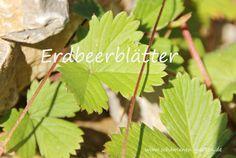 Erdbeerblätter, Heilwirkung, Tee aus Erdbeerblättern, Erdbeerblätter im August