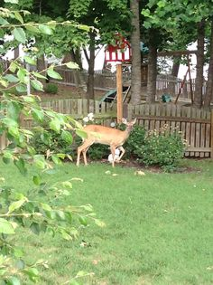 Deer in the backyard; they jump the fence to eat the roses & vegetable garden.