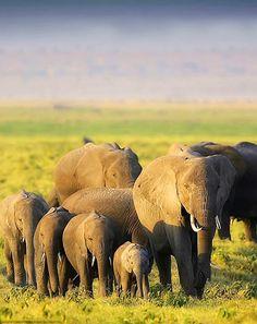 memoriesofelephants:  Lovely family leaving the marsh at sunset....