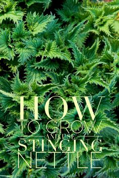 How to grow nettles in your home garden, plus how to use this nourishing herbal food and medicine // Blog Castanea