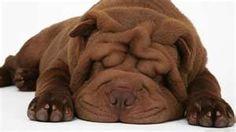Shar Pei Puppies...