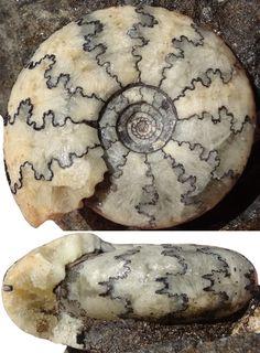 CRASPEDITES nodiger (Eichwald 1865)   jsdammonites
