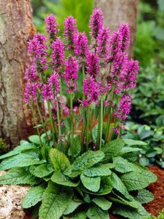 Now Stachys monnieri & # Hummelo & # / Zottiger Ziest order cheap ✿To 20 percent discount ❀Top nursery quality ❁Giant selection … - All About Garden Betony, Beautiful Flowers, Planting Flowers, Garden Plants, Flowers Perennials, Pretty Flowers, Garden Design, Shade Plants, Shade Perennials