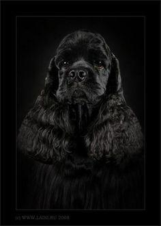 American cocker spaniel - this looks soooo much like Madison! Black Cocker Spaniel, American Cocker Spaniel, Cocker Spaniel Puppies, Pet Dogs, Dogs And Puppies, Dog Cat, Doggies, Beagle, Tattoo L