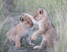 Playful Lion Cubs // Eric Sambol Photography