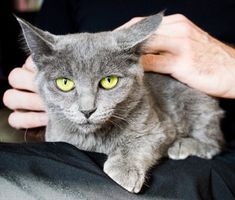 Want to know how to make your cat a lap cat? From bribery to blinking slowly, Dr. Marty Becker shares a few strategies that may help win your cat's cuddles.