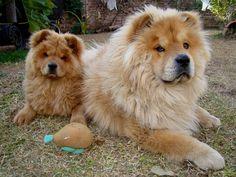 Los Chow Chow son extremadamente leales a su familia y les cuesta cambiar de amo, es comúnmente un perro de compañía. El Chow Chow es una raza de perro originaria de China.