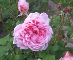 Austin English rose, 'Wife of Bath' my garden 2012