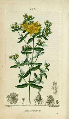 img/dessins-gravures de plantes medicinales/millepertuis, herbe de saint-jean, trescalan.jpg