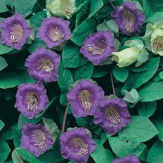 Klockranka:   (Cobaea scandens)   Elegant och snabbväxande klättrare. Får 7 cm stora klockor som ändrar färg från grönt till djupt lila. Sås inomhus februari-april. Blommar i juli-oktober. Ettårig. Blir ca. 3 m hög. Ca 20 frön.  (Ordinarie pris 29 kr)