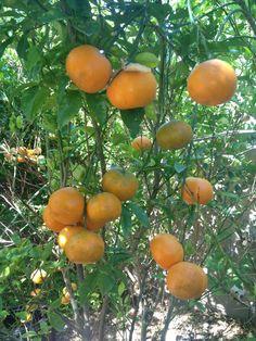 Honey mandarins, Tropica Mango Rare and Exotic Tropical Fruit Tree Nursery