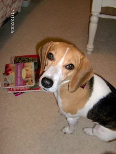 Our Beagle Molly, is posing pretty for the camera.  She is a dog that was rescued from a shelter and a great companion.