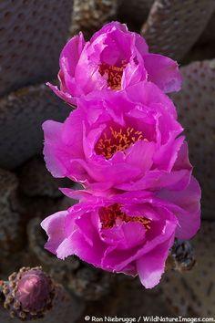 Blooming Beavertail Cactus, Anza-Borrego Desert State Park, California
