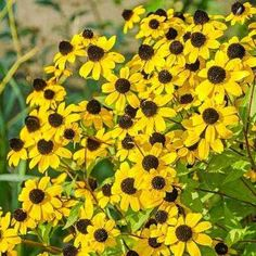 Brown Eyed Susan, Rudbeckia triloba, is a species of flowering plant in the sunflower family native to the United States. Bright Flowers, Cut Flowers, Wild Flowers, Classic Garden, Bee Friendly, Yellow Daisies, How To Attract Birds, Black Eyed Susan, Summer Garden