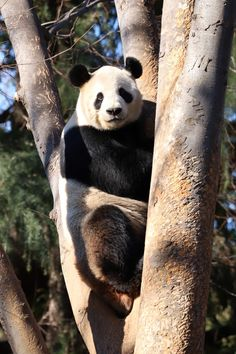 Ueno Zoo, Panda's Dream, Panda Bear, Bears, Pandas, Bite Size, Panda