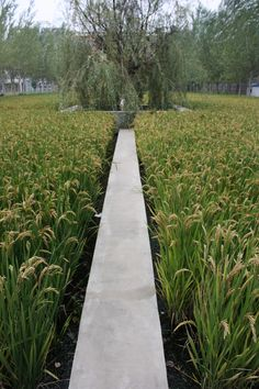 Paddy fields integrated with public space. Landscape Architecture, Landscape Design, Garden Design, Pond Bridge, Natures Path, Covered Walkway, Public Space Design, Champs, Chinese Landscape