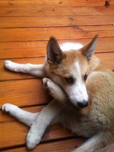 West Siberian Laika Dog