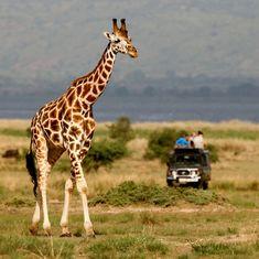 Giraffes in Uganda | Uganda on Safari: The Pearl of Africa | FATHOM Travel Blog and Travel Guides