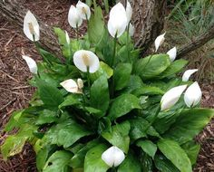 How to grow and care for the peace lily flower (Spathiphyllum floribundum) in indoor or outdoor containers. Inside Plants, Cool Plants, Inside Garden, Airplane Plant, Flower Pot Design, Tiny White Flowers, Best Indoor Plants, Indoor Garden, Peace Lily