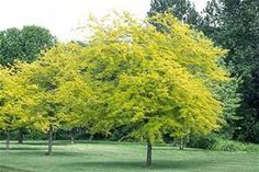 honey locust tree -