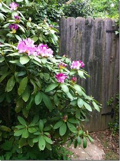Rhododendron by the garden gate
